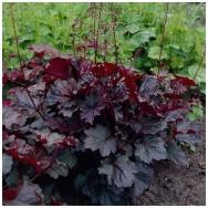 Alum root 'Palace Purple' C2