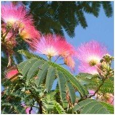 Albicija (mimoza) 'Rosea' lenkoraninė C5
