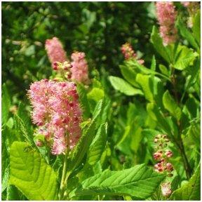 Summersweet 'Pink Spire' C2
