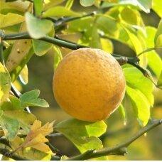 Apelsinas kartusis, C5