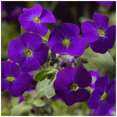 Aubretė 'Purple Shades'