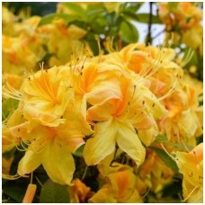 Azalija 'Golden Sunset' C20