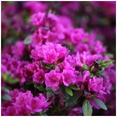 Azalija japoninė 'Geisha Purple' C2