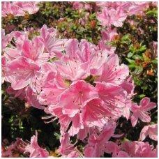 Azalija japoninė 'Kermesina Rose' C5