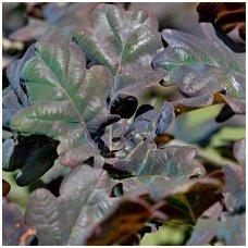 Ąžuolas paprastasis 'Atropurpurea' C5