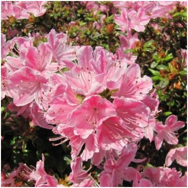 Azalija japoninė 'Kermesina Rose' C2