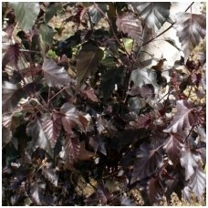 Beržas karpotasis 'Purpurea' C10