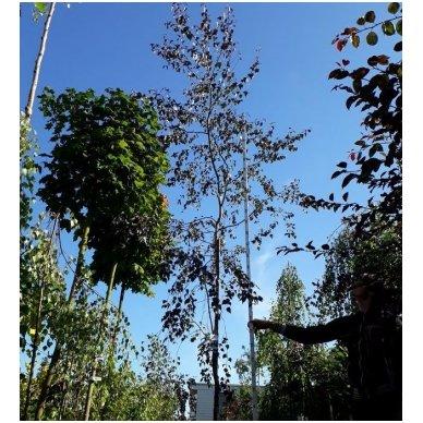 """Beržas karpotasis """"Purpurea"""" P00059"""