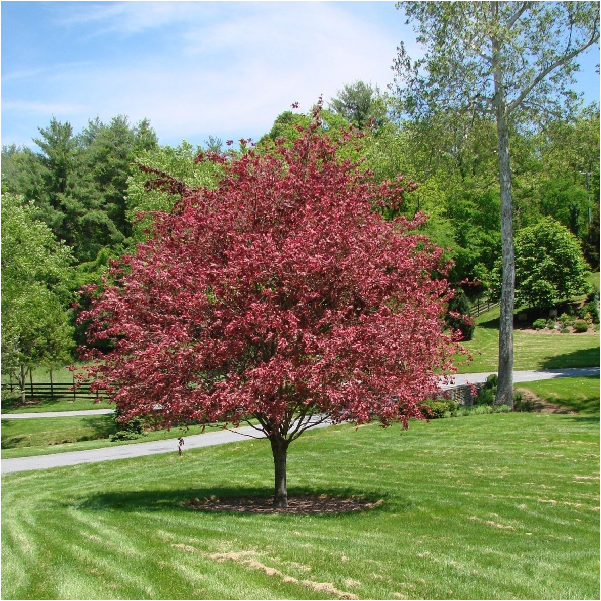 European beech \'Tricolor\' C2 | Beeches | Trees | Deciduous | Eshop