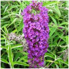 Budlėja Davido 'Nanho Purple' C5