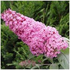 Budlėja davido 'Pink Delight' C5