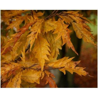 Bukas paprastasis 'Asplenifolia' C20 2