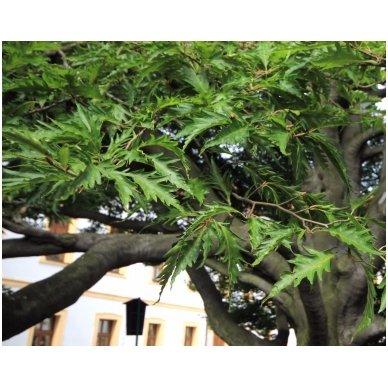 Bukas paprastasis 'Asplenifolia' C20 3