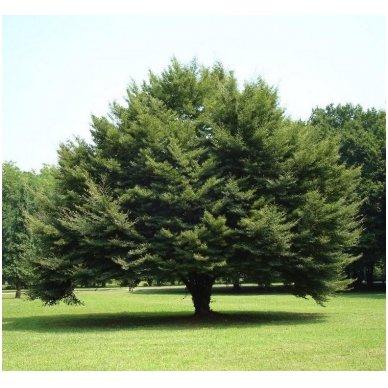 Bukas paprastasis 'Asplenifolia' C20 4