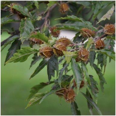 Bukas paprastasis 'Asplenifolia' C20