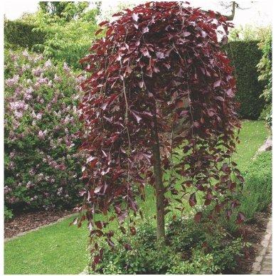 Bukas paprastasis 'Purpurea pendula' C10, Pa