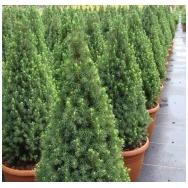 """White spruce """"Conica Compacta"""" C2"""