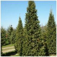 Norway spruce 'Columnaris', C5