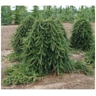 Norway spruce 'Frohburg' C5