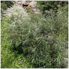 Gluosnis balsvasis 'Angustifolia' C5