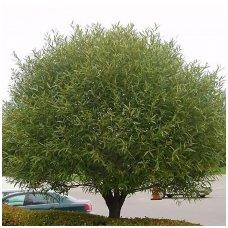 Gluosnis trapusis 'Bullata C10