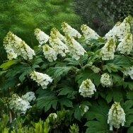 Hortenzija ąžuolialapė C2