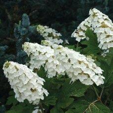 Hortenzija ąžuolialapė 'Snow Queen', C2