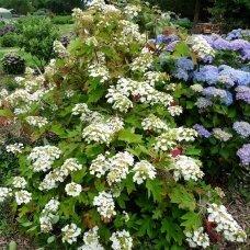 Hortenzija ąžuolialapė 'Tennessee Clone', C2