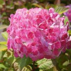 Hortenzija krūminė 'Preziosa', C2
