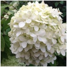 Hortenzija šluotelinė 'Grandiflora' C2