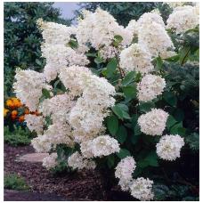 Hortenzija šluotelinė 'Grandiflora' C5