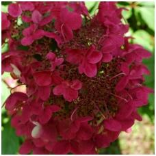 Hortenzija šluotelinė 'Wim's Red' C2