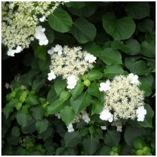 Hortenzija  laipiojančioji  'Cordifolia' C5