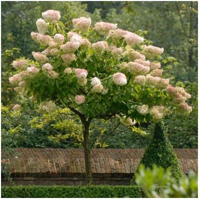 Hortenzija šluotelinė 'Grandiflora' C5 2