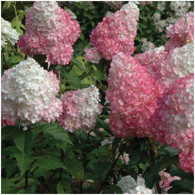 Hortenzija šluotelinė 'Pink Diamond' C3