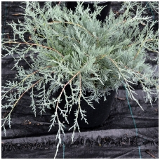 Juniperus virginiana 'Grey Owl' C5