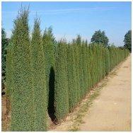 Common juniper 'Arnold' C10