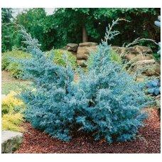 Kadagys kininis 'Blue Alps' C5