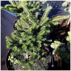 Kėnis korėjinis 'Brevifolia' C10