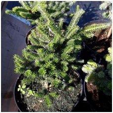 Kėnis korėjinis 'Brevifolia' C5