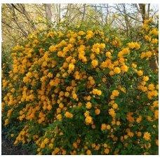 Kerija japoninė 'Pleniflora' C5