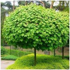 Klevas paprastasis 'Globosum' C40