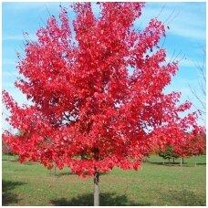 Klevas raudonasis 'October Glory' C7,5
