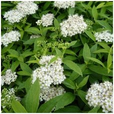 Lanksva japoninė 'Albiflora' P9
