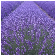 English lavender 'Munstead' C2