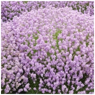 English lavender 'Rosea' C2