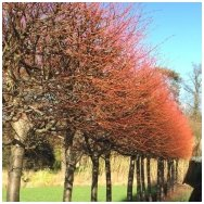 Small-leaved lime 'Winter Orange', C10 Pa