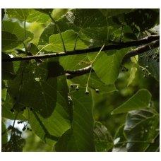 "Liepa amerikinė ""Macrophylla"" C10"