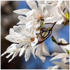 Magnolija japoninė, C2
