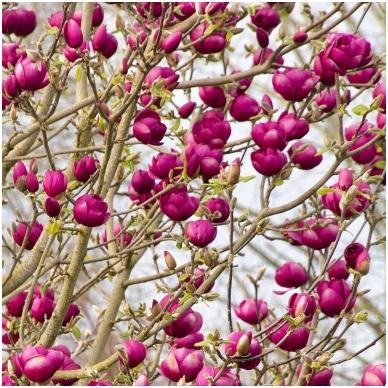 Magnolija 'Black Tulip' C5
